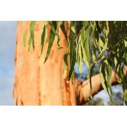 Eukalyptová silice, 30 ml