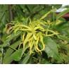 Ylang ylang silice z ekologického zemědělství, 100 ml